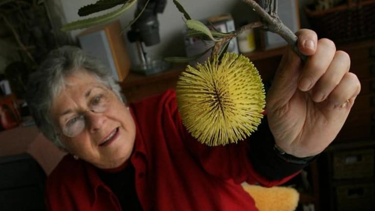Artist Celia Rosser with a cutting of a  Banksia Rosserae  which has been named after her.