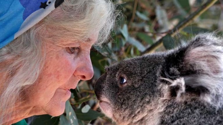 Vulnerable creatures ... six-year-old female koala Bluejeans with Nancy Small at Waterways Wildlife Park, Gunnedah, Australia's 'koala capital'.