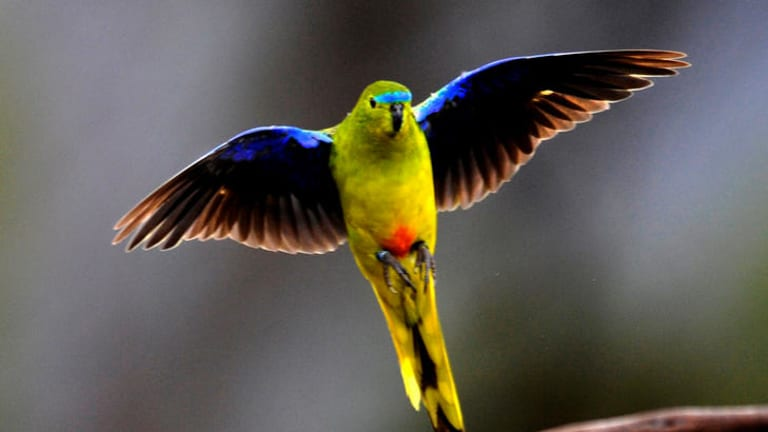 The orange-bellied parrot, at risk along the South Australian-Victorian border.