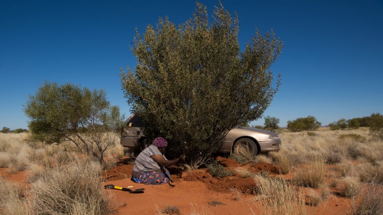 Amata women collect witchetty grubs at Cave Hill for a picnic lunch.