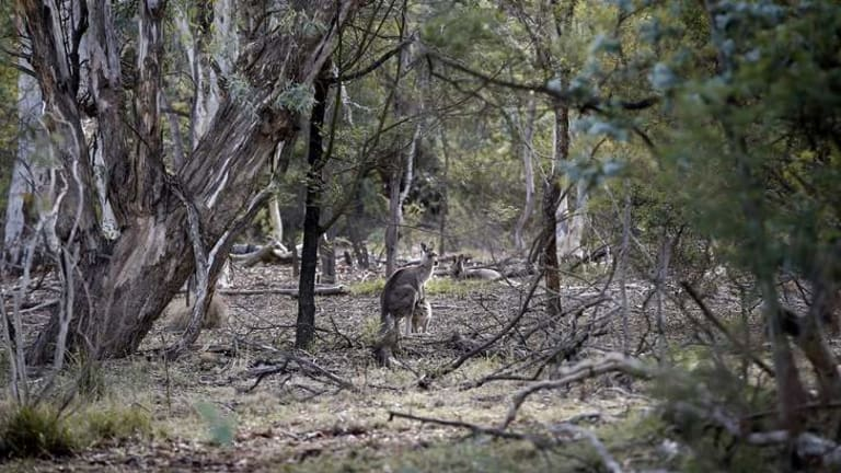 Kangaroos on Mt Ainslie.