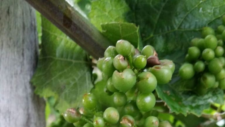 Lerida Estate winery at Lake George has lost 30 per cent of it's crop in a recent hail storm.