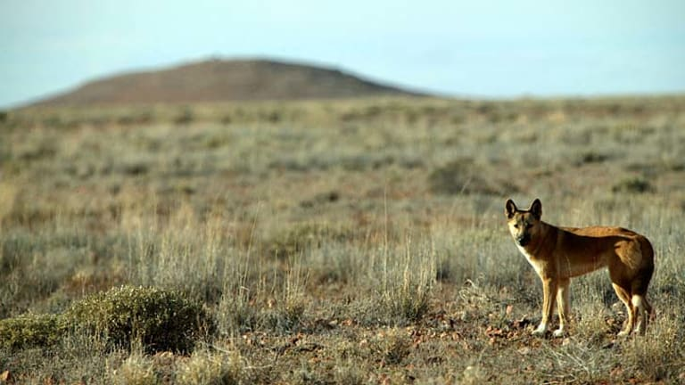 A startling discovery: Commonly believed to be a breed of wild dog, scientists now consider the dingo to be a species in its own right.