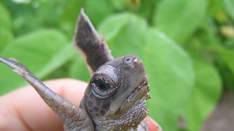 Uncertain future: A Heron Island green turtle.