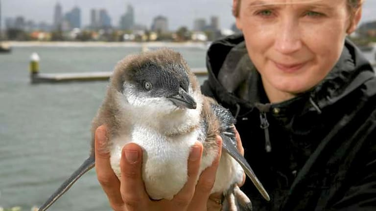 Monash Uni researcher Nicole Kowalczyk at St Kilda Pier monitoring the penguins.