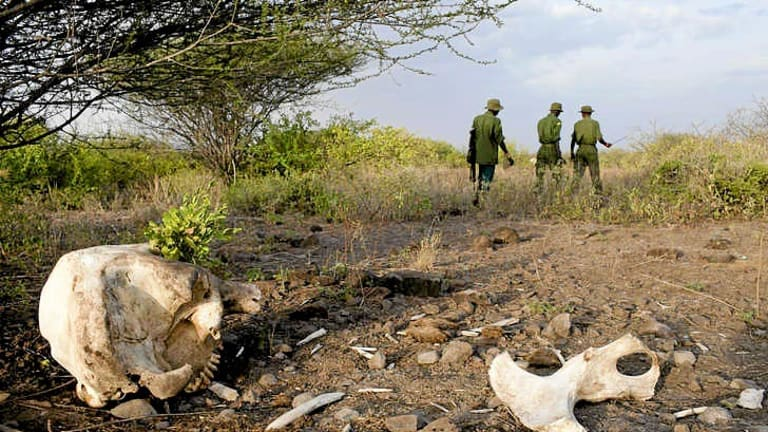Sorry sight … remains of an elephant killed by poachers.