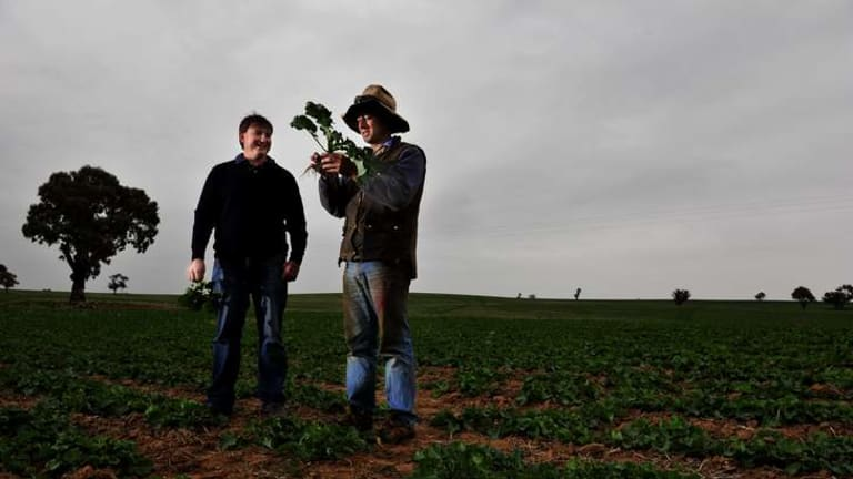 Agronomist Andrew Daley and Harden farmer James Bowman inspect the new canola crop.