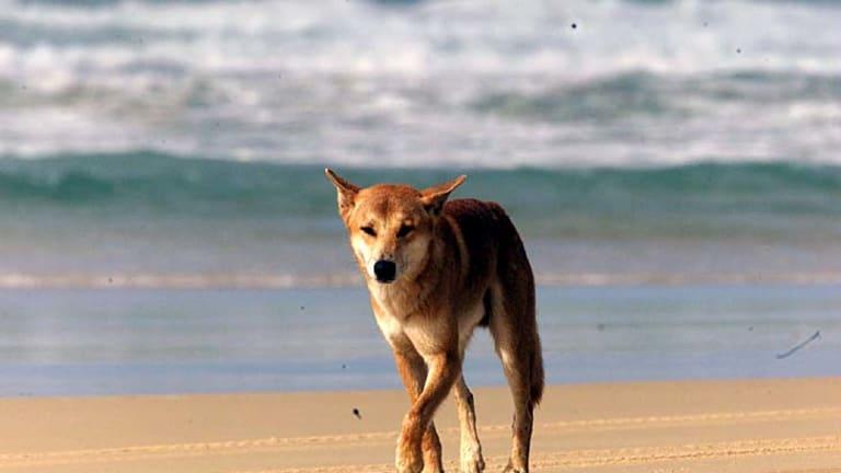 A dingo walks on the beach on the ocean side of Fraser Island.