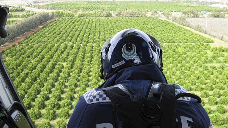 Large haul ... aerial police survey an orange orchard, one of four sites near Griffith in which marijuana crops were found hidden among the vegetation.