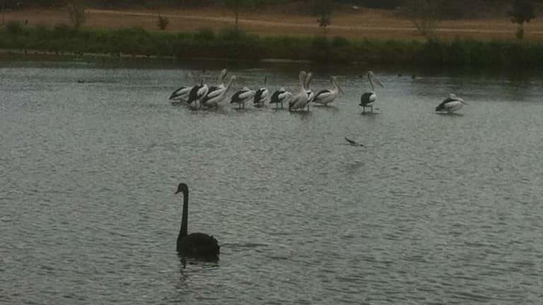 Birdlife at Swan Lake, at the Port of Brisbane.