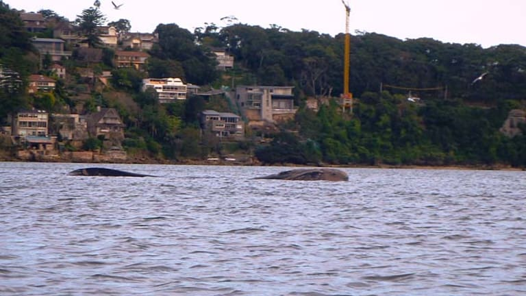 The mother whale off Chinamans Beach, Middle Harbour.