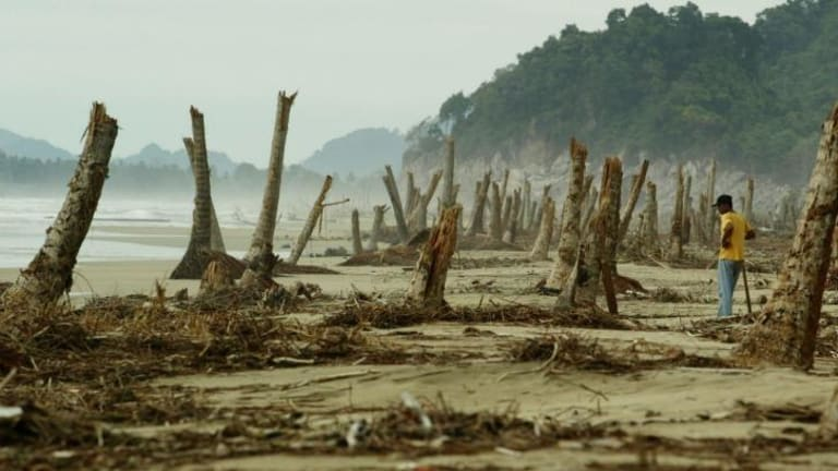 Devastation: A worker stands among coconut palm trees snapped off at a beach near Lam No, Indonesia, after the 2004 Boxing Day tsunami.