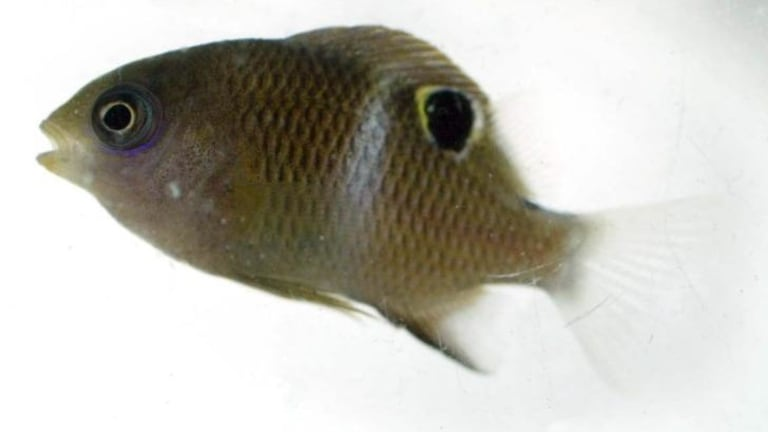 Damselfish in distress: A study has shown that exposure to higher carbon dioxide levels has a negative impact on various aspects of fish behaviour.