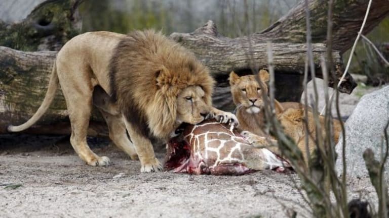 The giraffe was fed to the lions after being put down.