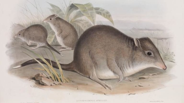 The long-nosed potoroo from John Gould's Mammals of Australia, 1863.