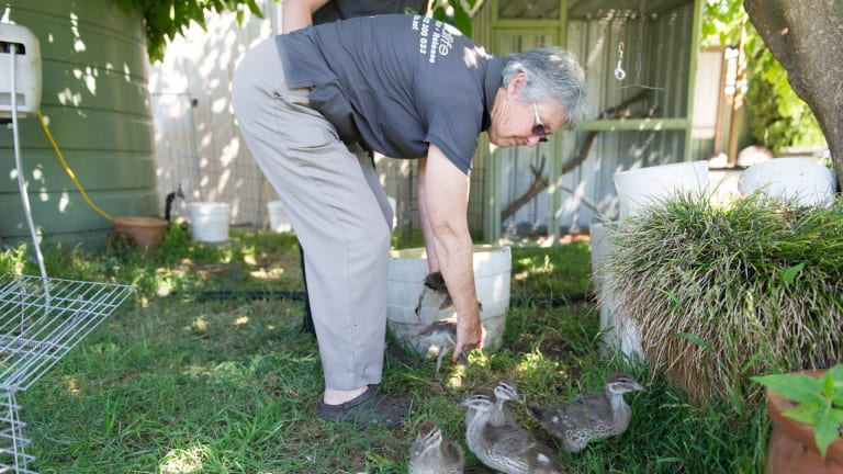 ACT Wildlife president Marg Peachey helps to gather up some native wood ducklings for transport.
