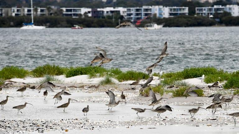 Eastern curlews at Botany Bay.