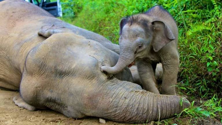 Mysterious deaths ... A pygmy elephant calf walks next to its dead mother in Gunung Rara Forest Reserve. Ten endangered Borneo pygmy elephants have been found dead in Malaysia's state of Sabah on the Borneo island.