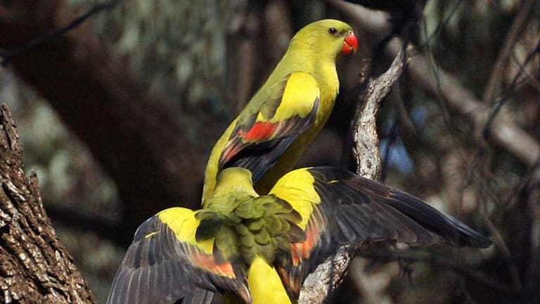 Endangered … eastern regent parrots ''commute'' between mallee vegetation, where they feed, and red gums, where they breed.