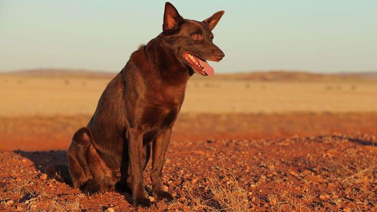 Koko on the set of <i>Red Dog</i>.