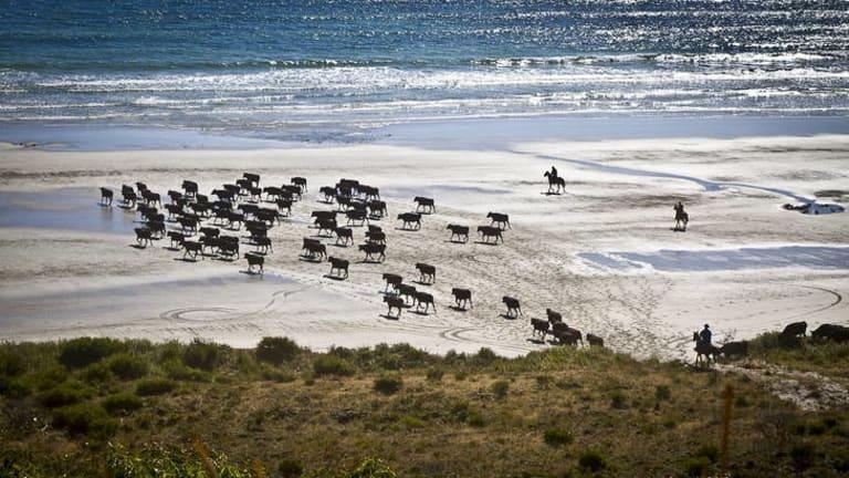 Hammond brothers cattle on Robbins Island.