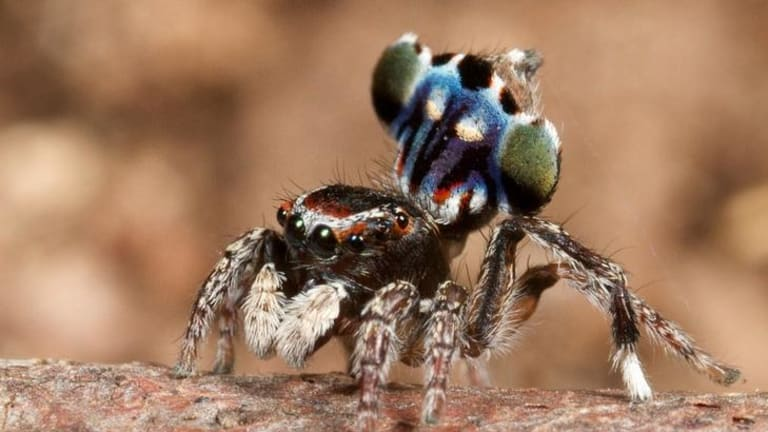 New peacock  spider Maratus harrisi named after ACT vineyard worker Stuart Harris.
