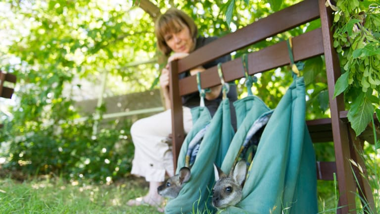 ACT Wildlife carer Joan McKay with some snug-looking wallabies.