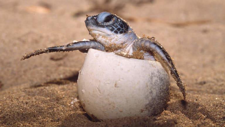 Leatherback turtle hatching.