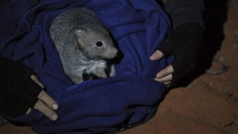 A bettong, captured for research, is released at the Arid Recovery station.