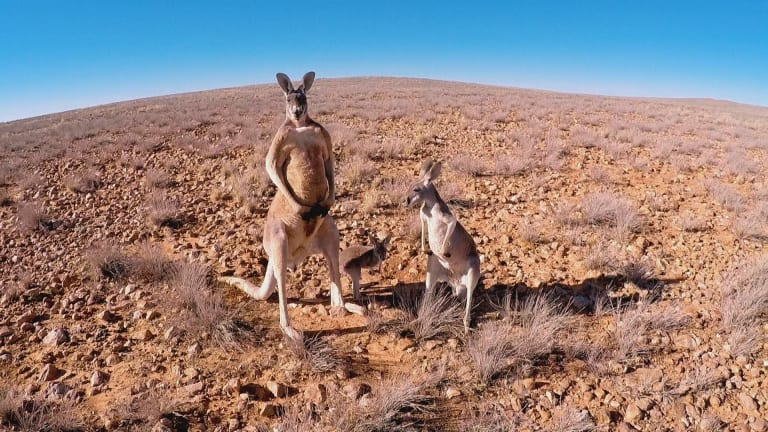 It took three trips to the outback to capture footage of kangaroos in their natural environment.