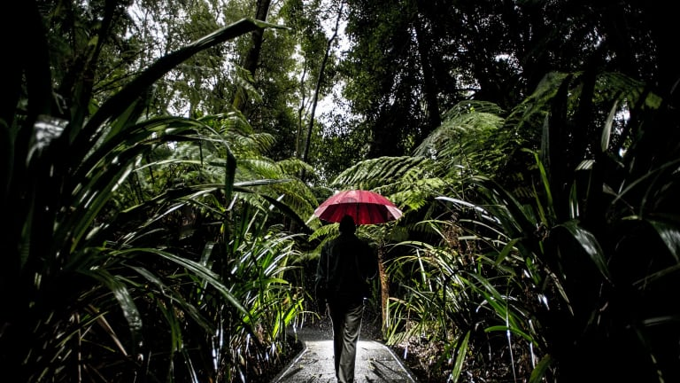 Craig Webber walks through the Rainforest at the Australian National Botanic Gardens, in the rain.