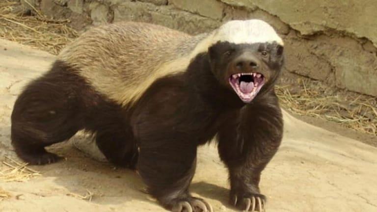 Tough little bugger: the honey badger.