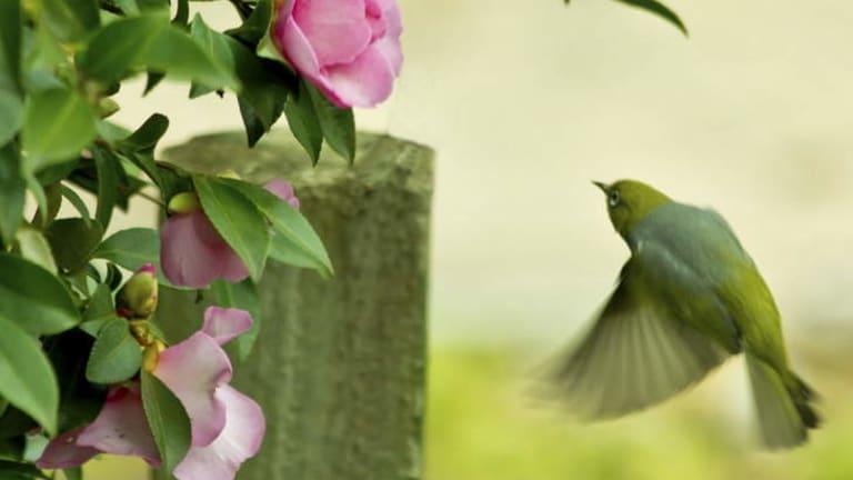 Sweet stuff: Camellia nectar attracts a silvereye in a Wanniassa garden in winter.