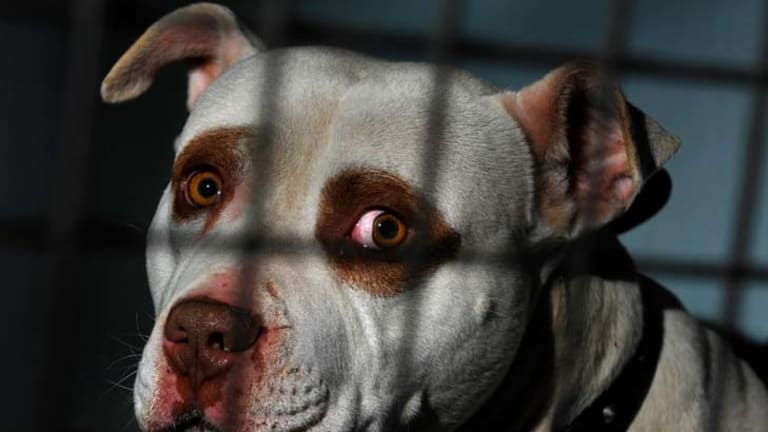 Dangerous dogs such as pit bulls not registered by the end of September could be seized and destroyed.