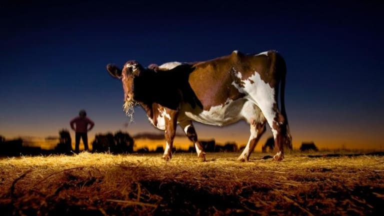 There's a high cost to animal welfare for the consumption of dairy products.
