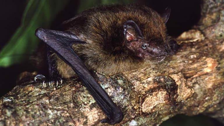 Extinct: the pipistrelle.