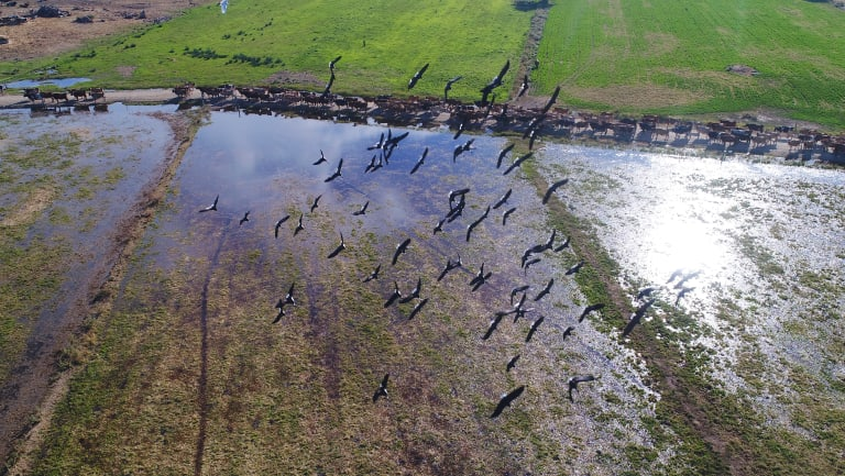 A flock of ibis fly over the dairy herd of owned by Daryl Hoey, near Katunga in Victoria.