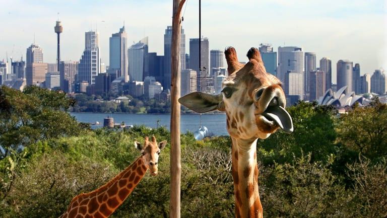 Taronga Zoo giraffes enjoy a stunning harbour vista.