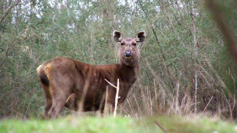 Sambar deer near Eildon. Photo by Steve McMonigle