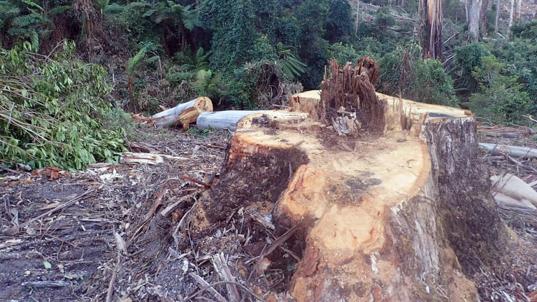 VicForests is alleged to have illegally logged within a rainforest buffer zone.