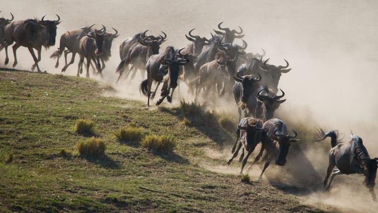 Wildebeest or Melbourne pedestrians?