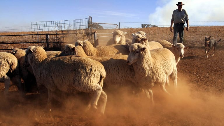 An Australian farmer and his dog muster sheep on his farm near Cowra, NSW.