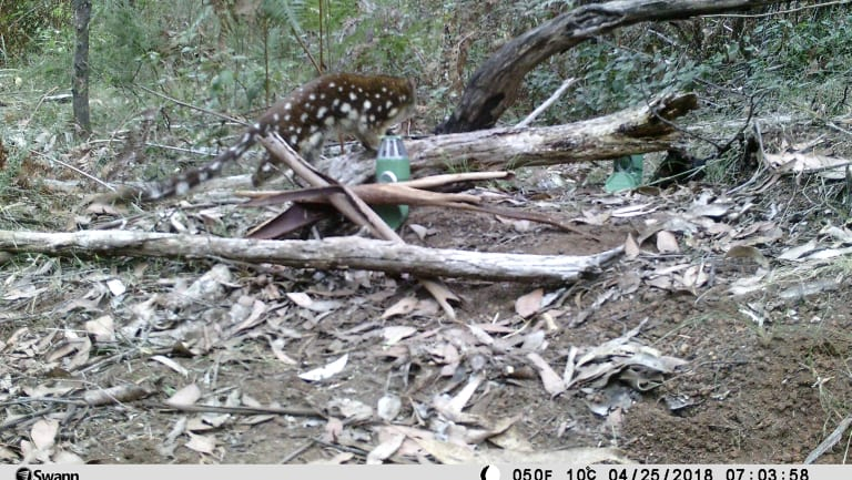 A rare spot-tailed quoll was captured on film near Mount Baw Baw.