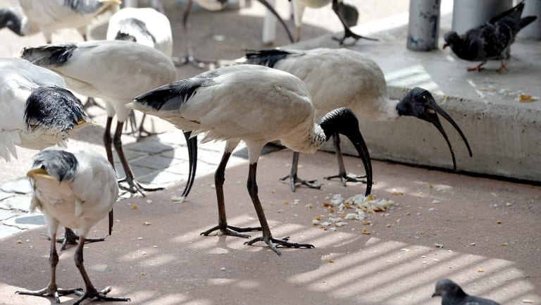 A Griffith University study found that about 70 per cent of tourists found interactions with ibises enjoyable
