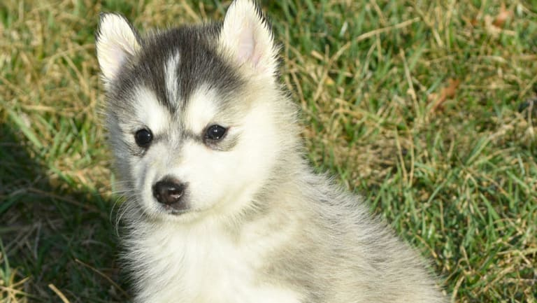 One of the puppies used in the recent scam identified by ACCC Scamwatch.