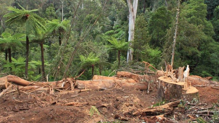"Orange tapes within protected rainforest marking the route of the bulldozer in the 'Bellman"" coupe, East Gippland."