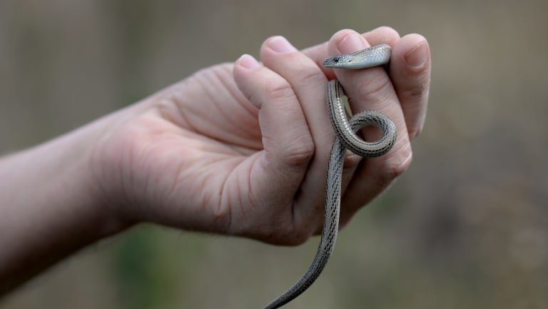The striped legless lizard is a threatened species in Canberra's native grasslands.