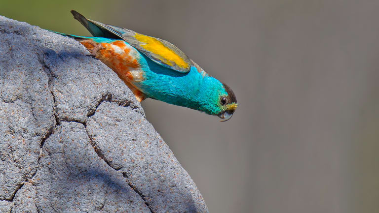 As few as 2000 of the alwal, or golden-shouldered parrot, remain in the wild.