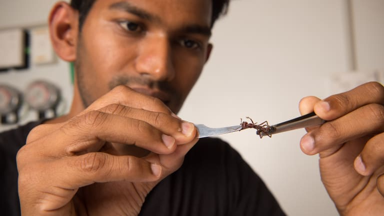 """PhD student Ravi Palavalli-Nettimi is trying to crack the navigation secrets of ants. """"I like Australian ants. They're crazy."""""""