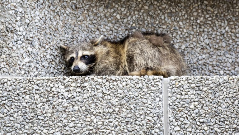 A raccoon sits on a ledge on the Town Square building in downtown St. Paul, Minnesota.